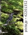 鳥 雄 烏の写真 42201352