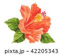 ハイビスカス トロピカル 水彩のイラスト 42205343