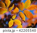 秋色に染まった広葉樹 42205540