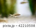フナの稚魚 42210508