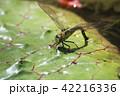 クロスジギンヤンマ 昆虫 産卵の写真 42216336