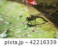 クロスジギンヤンマ 昆虫 産卵の写真 42216339