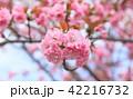 春 満開 桜の写真 42216732