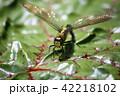 クロスジギンヤンマ 昆虫 産卵の写真 42218102