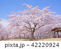 桜 桜の木 春の写真 42220924