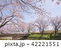 桜 桜の木 春の写真 42221551