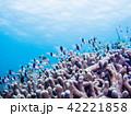海中 魚 熱帯魚の写真 42221858