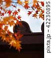 紅葉 常寂光寺 秋の写真 42230895