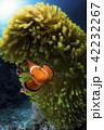 カクレクマノミとイソギンチャク 42232267