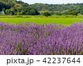 ラベンダー 植物 満開の写真 42237644