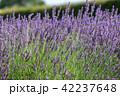 ラベンダー 花 満開の写真 42237648