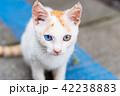 オッドアイの子猫 正面 カメラ目線 42238883
