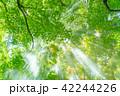 森林 光芒 木漏れ日の写真 42244226