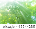 森林 光芒 木漏れ日の写真 42244235