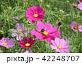 ミツバチとコスモス お花畑 42248707