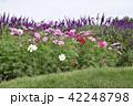 コスモスとラベンダー お花畑 42248798