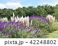 ラベンダーとススキ お花畑 42248802