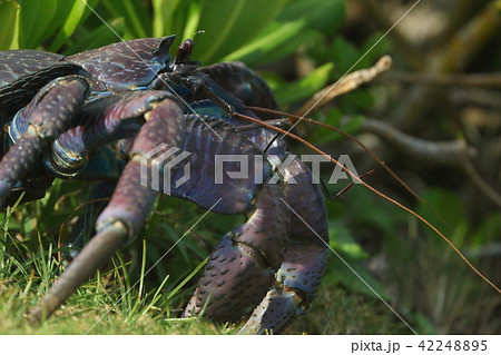 生き物 甲殻類 ヤシガニ、絶滅危惧種。石垣市では条例によって保護されています。 42248895