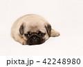 パグ 子犬 42248980