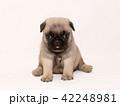 パグ 子犬 42248981