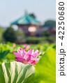 蓮 花 開花の写真 42250680