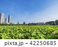 上野恩賜公園 不忍池 池の写真 42250685