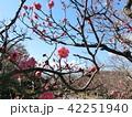 桃の花 42251940