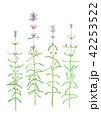 Lavandula angustifolia イングリッシュラベンダー 42253522