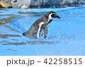 フンボルトペンギン ペンギン 鳥類の写真 42258515