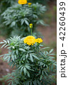 アフリカンマリーゴールド マリーゴールド 花の写真 42260439