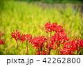 奈良県 明日香 彼岸花と田んぼの稲 42262800