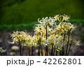 奈良県 明日香 白い彼岸花 42262801
