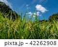奈良県 明日香 実った稲穂 42262908