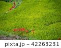 奈良県 明日香 初秋の里山 彼岸花と田んぼ 42263231