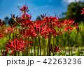 奈良県 明日香 彼岸花と田んぼの稲 42263236