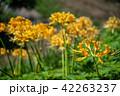 奈良県 明日香 黄色の彼岸花 42263237