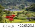 奈良県 明日香 彼岸花と里山 42263238
