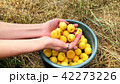 Ripe juicy organic apricots in the hands of a girl. 42273226