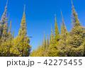 青空 銀杏 銀杏並木の写真 42275455