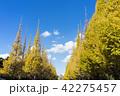 青空 銀杏 銀杏並木の写真 42275457
