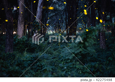 image of firefly flying in the night forestの写真素材 42275498 pixta