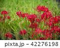 奈良県 明日香 彼岸花と田んぼの稲 42276198