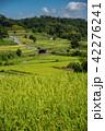 奈良県 明日香 初秋の里山 彼岸花と田んぼ 42276241