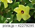 ハマボウ 浜朴 アオイ科の写真 42279295