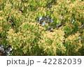 クスノキ 木 植物の写真 42282039