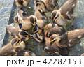 カルガモのヒナドリ 池の中で 42282153