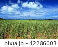 沖縄 宮古島 さとうきび畑の写真 42286003