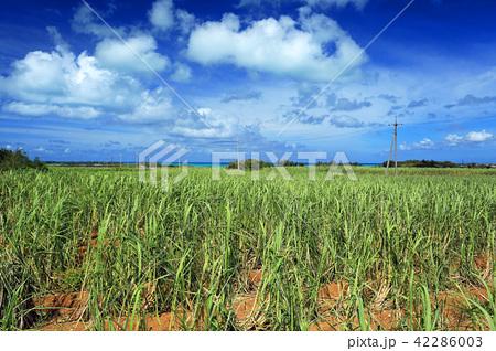 沖縄 宮古島の風景 さとうきび畑と青い海 42286003
