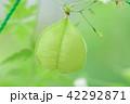 フウセンカズラ 緑色 実の写真 42292871