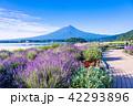 ラベンダー ラベンダー畑 富士山の写真 42293896